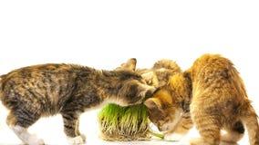 Gato que come la hierba