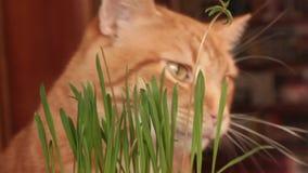 Gato que come la hierba de los gatos almacen de metraje de vídeo