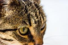 Gato que desengaça em sua rapina Fotos de Stock Royalty Free