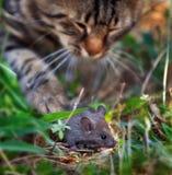 Gato que desengaça um rato Foto de Stock Royalty Free