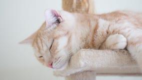 Gato que dorme nos condomínios Luz do gato malhado - marrom colorido, meio sangue americano de cabelo curto fotografia de stock royalty free