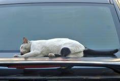 Gato que duerme en el coche brillante fotos de archivo libres de regalías