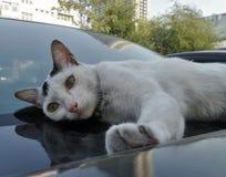 Gato que duerme en el coche brillante fotografía de archivo