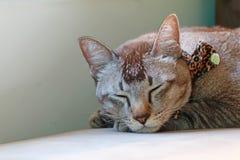 Gato que duerme en el sofá Imagen de archivo