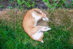 Gato que duerme en jardín con las margaritas y la hierba fotos de archivo