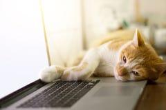 Gato que duerme sobre un ordenador portátil de la pantalla en blanco en el escritorio de madera Imagen de archivo libre de regalías