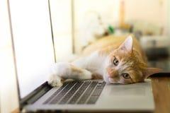 Gato que duerme sobre un ordenador portátil en el escritorio de madera Fotos de archivo