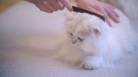 Gato que encontra-se e que aprecia ao ser escovado, mulher que penteia a pele do gato do branco da neve vídeos de arquivo