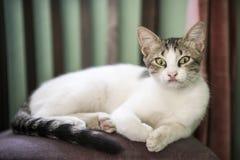 Gato que encontra-se em uma cadeira Imagens de Stock Royalty Free