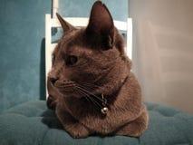 Gato que encontra-se na cadeira e que olha no lado Imagem de Stock