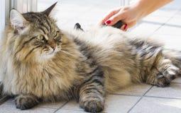 Gato que encontra-se na janela, gato malhado marrom siberian Imagem de Stock Royalty Free