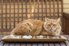 Gato que encontra-se na tabela Fotos de Stock Royalty Free