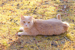 Gato que encontra-se na terra Imagens de Stock Royalty Free