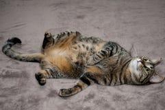 Gato que encontra-se nela para trás Fotografia de Stock