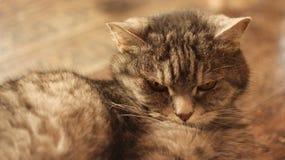 Gato que encontra-se no assoalho em casa Foto de Stock Royalty Free
