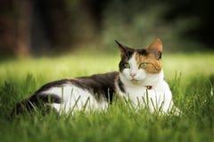 Gato que encontra-se no jardim Imagens de Stock Royalty Free