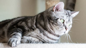 Gato que encontra-se nos condomínios Cabelo curto de Tabby American imagem de stock royalty free