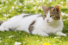 Gato que encontra-se nos gras Foto de Stock Royalty Free