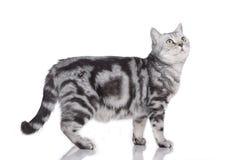 Gato que está isolado lateralmente fotografia de stock royalty free