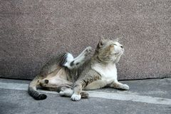 Gato que estabelece e que risca pelo pé traseiro no assoalho fotos de stock