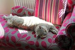 Gato que estica para fora no chaise Imagem de Stock Royalty Free
