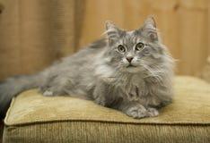 Gato que gandulea en un amortiguador suave del moreno fotografía de archivo