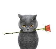 Gato que guarda uma rosa em sua boca Imagens de Stock Royalty Free