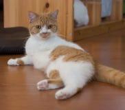Gato que hace una actitud atractiva imagen de archivo libre de regalías