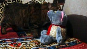 Gato que huele un juguete relleno almacen de metraje de vídeo