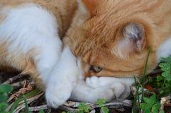 Gato que intenta tomar una siesta Fotografía de archivo libre de regalías