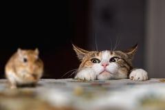Gato que joga com o rato pequeno do gerbo em thetable Fotografia de Stock Royalty Free