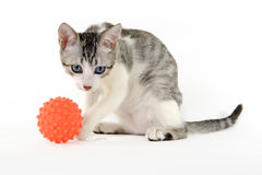 Gato que joga com uma bola em um fundo branco Foto de Stock Royalty Free