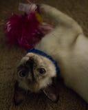 Gato que juega con el juguete Imagenes de archivo