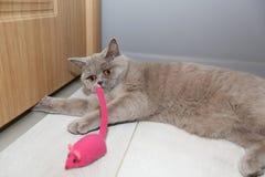 Gato que juega con el ratón fotografía de archivo