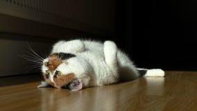 Gato que juega con la luz del punto en piso de madera almacen de video