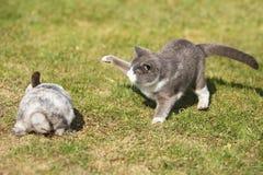 Gato que juega con un conejo Fotografía de archivo