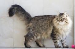 Gato que juega con una bola en el jardín, gato siberiano marrón Fotografía de archivo libre de regalías