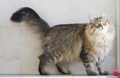 Gato que juega con una bola en el jardín, gato siberiano marrón Imagen de archivo libre de regalías