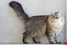 Gato que juega con una bola en el jardín, gato siberiano marrón Imágenes de archivo libres de regalías