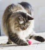 Gato que juega con una bola en el jardín, gato siberiano marrón Imagen de archivo