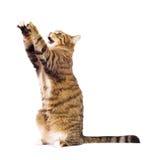 Gato que juega, el meowing, cogiendo. Foto de archivo libre de regalías