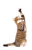 Gato que juega, el pedir, cogiendo. Aislado en blanco. Imágenes de archivo libres de regalías