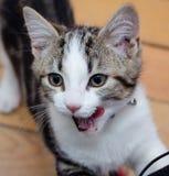 Gato que lambe o perigo do sharp dos bordos Fotos de Stock