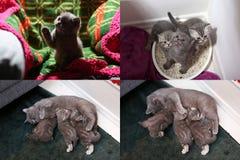 Gato que le alimenta los gatitos recién nacidos, multicam, pantalla de la rejilla 2x2 Imagen de archivo