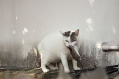 Gato que leva o rato pequeno no roog, gato branco do roedor que trava um mous fotos de stock royalty free