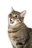 Gato que maúlla Fotografía de archivo
