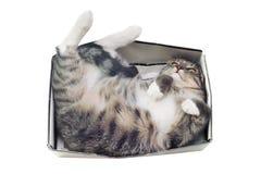 Gato que miente en caja en el fondo blanco Fotos de archivo libres de regalías