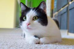 Gato que miente en el piso Foto de archivo libre de regalías