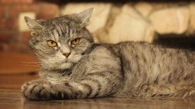 Gato que miente en el piso en casa 9 Fotografía de archivo