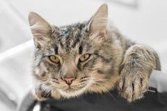 Gato que miente en el sofá Foto de archivo